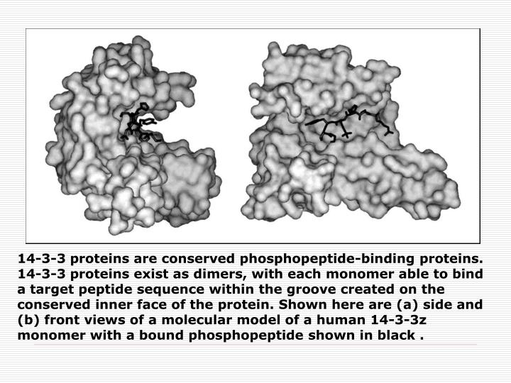 14-3-3 proteins are conserved phosphopeptide-binding proteins. 14-3-3 proteins exist as dimers, with each monomer able to bind a target peptide sequence within the groove created on the conserved inner face of the protein. Shown here are (a) side and (b) front views of a molecular model of a human 14-3-3z monomer with a bound phosphopeptide shown in black .