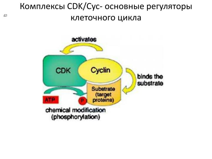 Cdk cyc