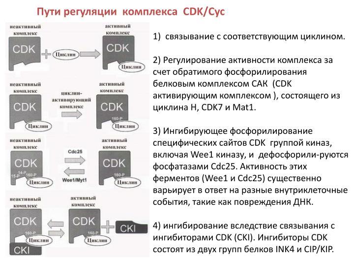 Пути регуляции  комплекса