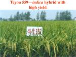 teyou 559 indica hybrid with high yield