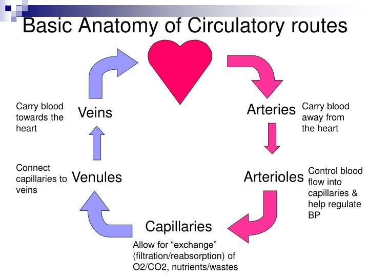 PPT - Cardiovascular system - Blood Vessels Anatomy Chap. 22 ...
