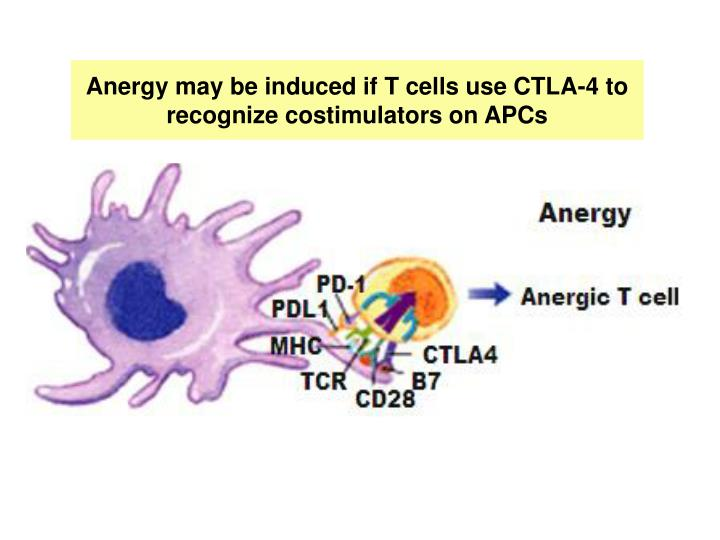 Anergy may be induced if T cells use CTLA-4 to recognize costimulators on APCs