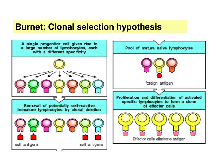 Burnet: Clonal selection hypothesis