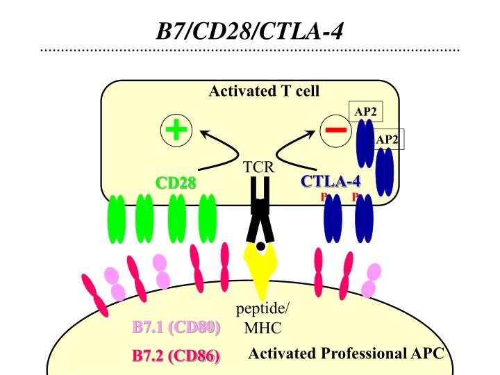 B7/CD28/CTLA-4