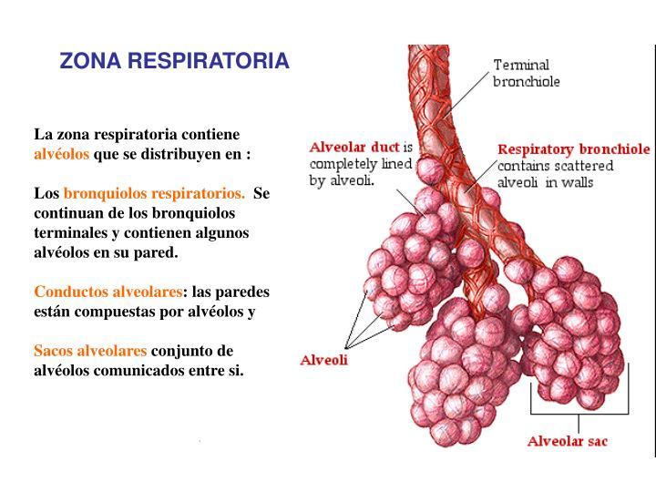 PPT - Función Sistema Respiratorio PowerPoint Presentation - ID:3728301