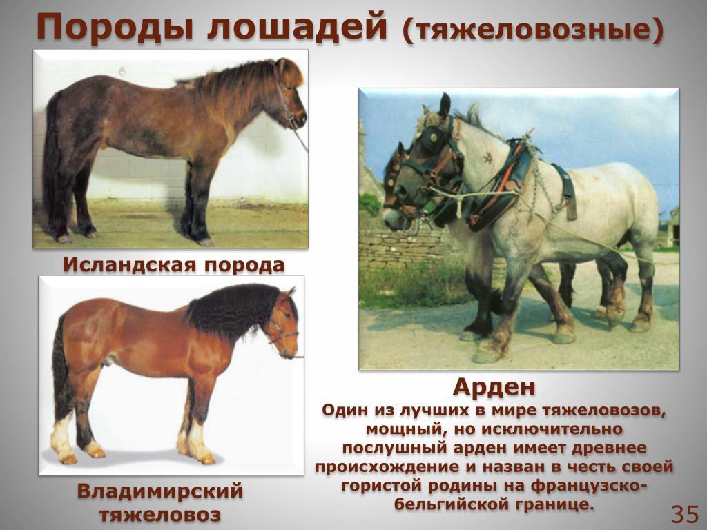 картинки с описанием пород лошадей шайбе всегда были