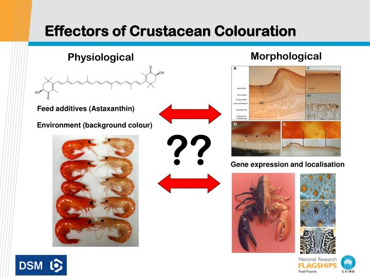 Ppt Regulation And Optimisation Of Prawn Colouration There Is