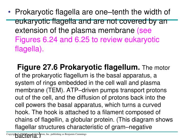 Prokaryotic flagella are one–tenth the width of eukaryotic flagella and are not covered by an extension of the plasma membrane
