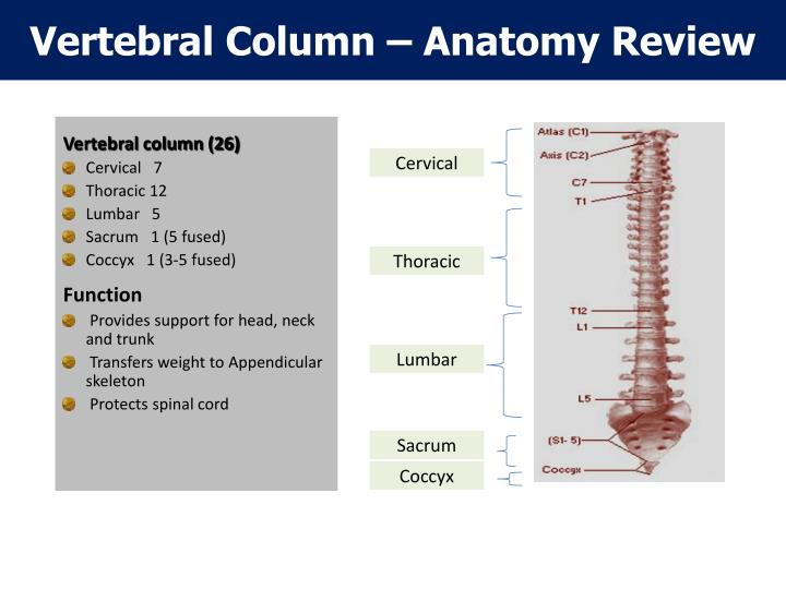 Vertebral Column – Anatomy Review