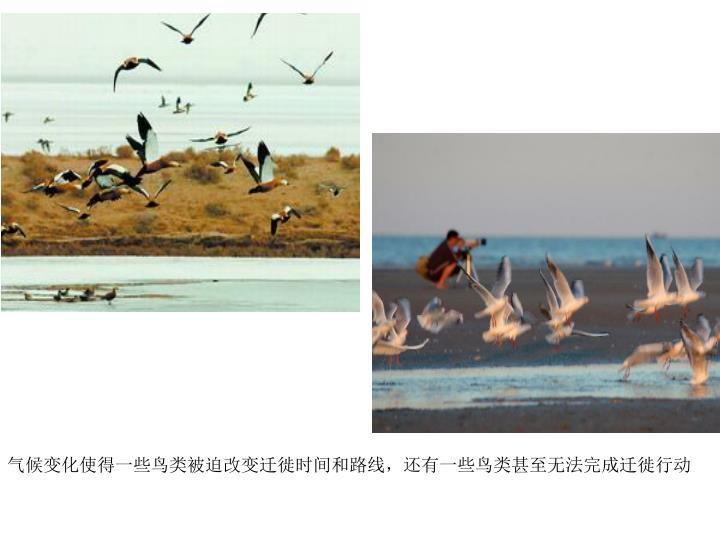 气候变化使得一些鸟类被迫改变迁徙时间和路线,还有一些鸟类甚至无法完成迁徙行动