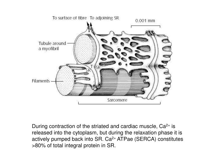 During contraction of the striated and cardiac muscle, Ca