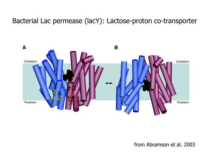 Bacterial Lac permease (lacY): Lactose-proton co-transporter