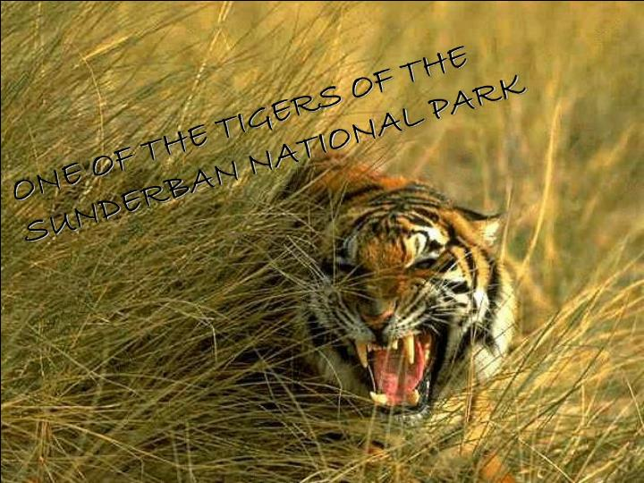 ONE OF THE TIGERS OF THE SUNDERBAN NATIONAL PARK