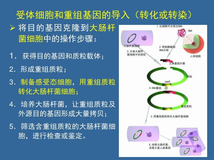 受体细胞和重组基因的导入(转化或转染)