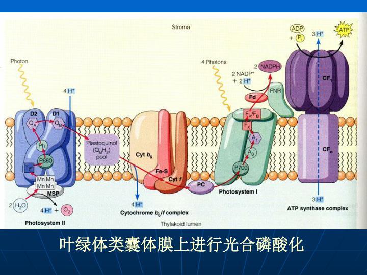 叶绿体类囊体膜上进行光合磷酸化