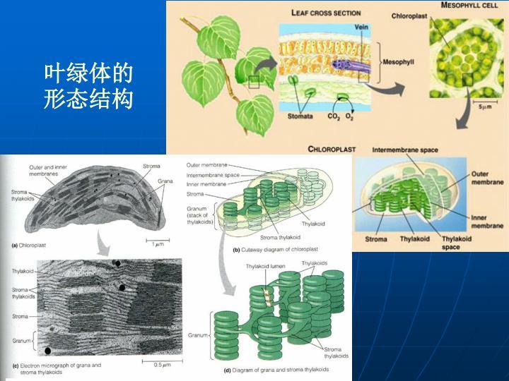 叶绿体的形态结构