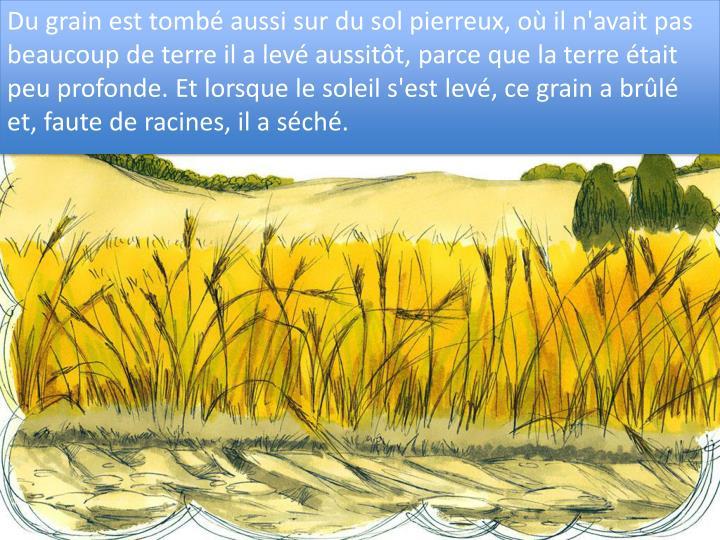 Du grain est tombé aussi sur du sol pierreux, où il n'avait pas beaucoup de terre il a levé aussitôt, parce que la terre était peu profonde. Et lorsque le soleil s'est levé, ce grain a brûlé et, faute de racines, il a séché.