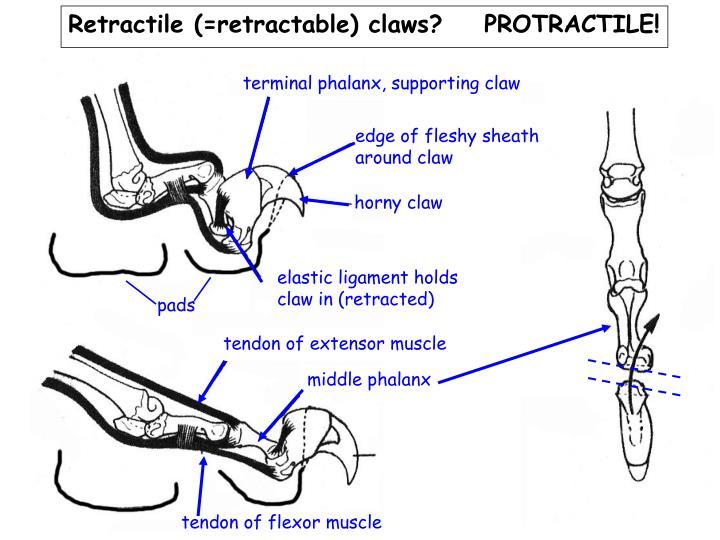 Retractile (=retractable) claws?    PROTRACTILE!