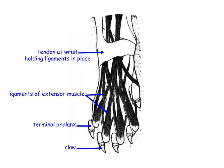 tendon at wrist