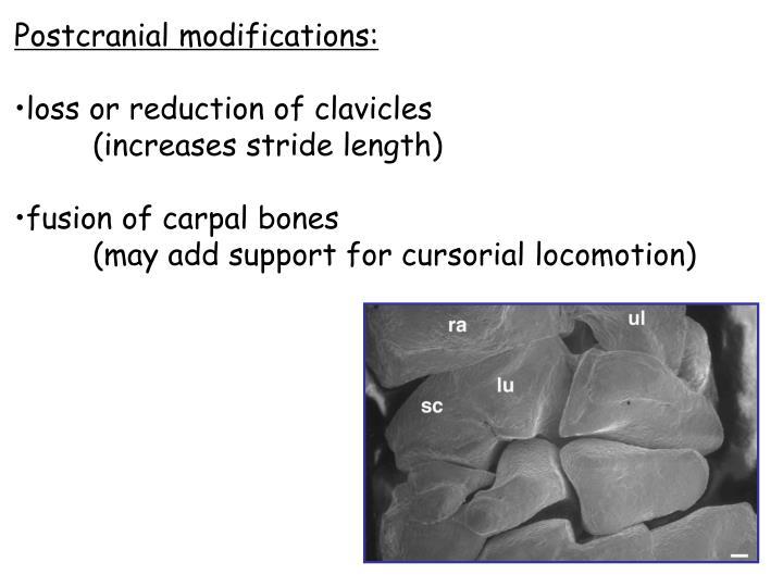 Postcranial modifications: