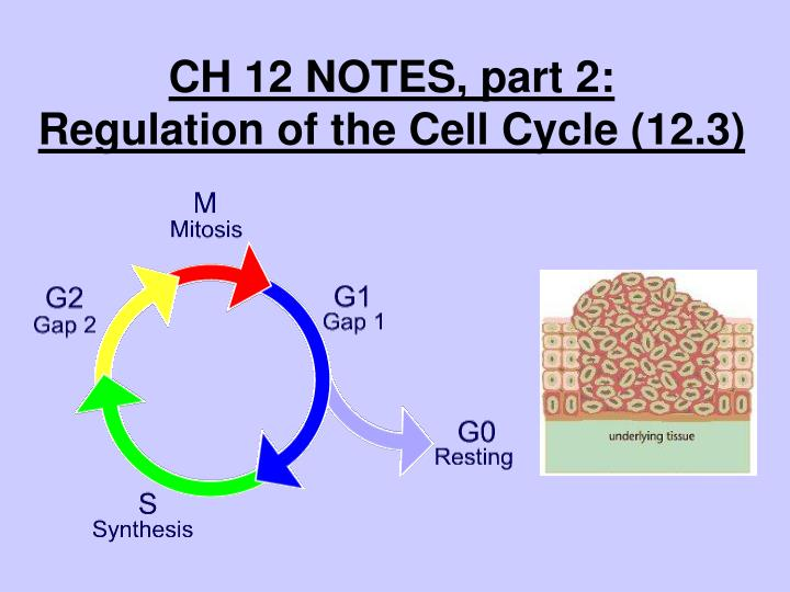Latest Regulation: Section 3 Regulation Of The Cell Cycle
