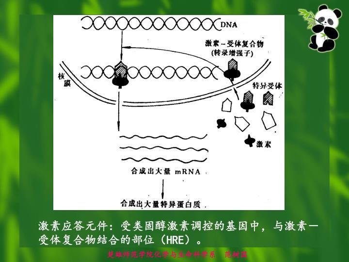 激素应答元件:受类固醇激素调控的基因中,与激素-受体复合物结合的部位(