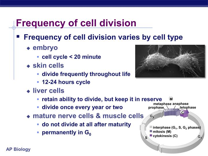 ap bio essays cell division Biology- cell division essay - a cell is the smallest structural and functional unit of an organism a cell is typically microscopic and consists of cytoplasm, a nucleus and enclosed in a membrane.