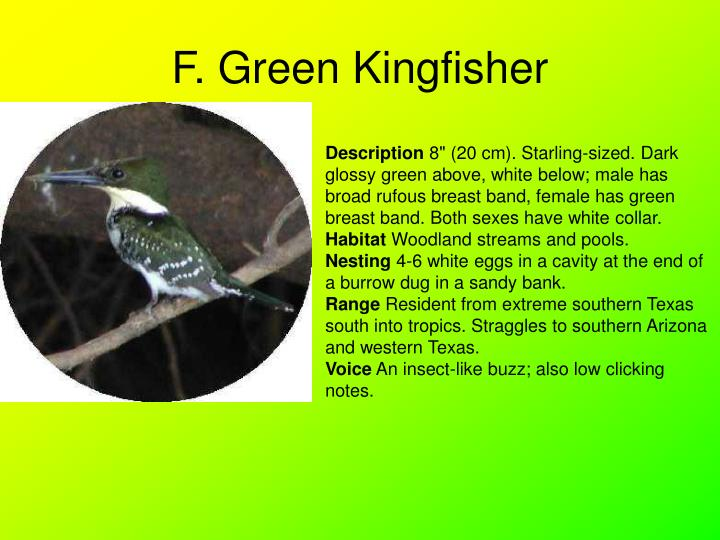 F. Green Kingfisher