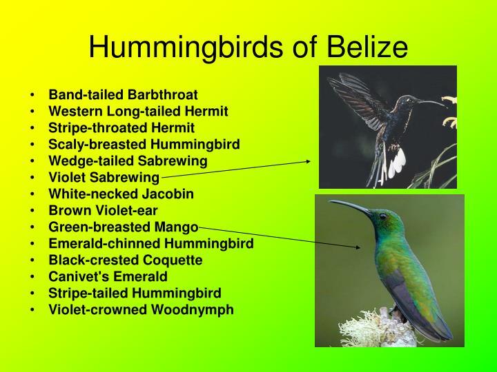 Hummingbirds of Belize