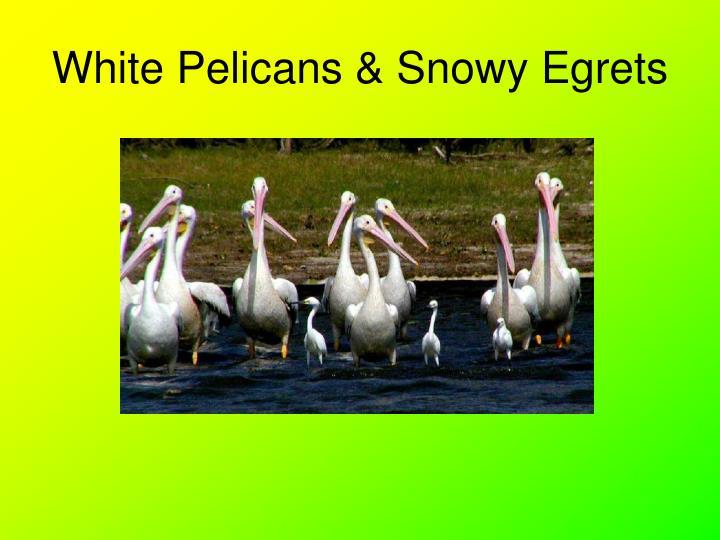 White Pelicans & Snowy Egrets