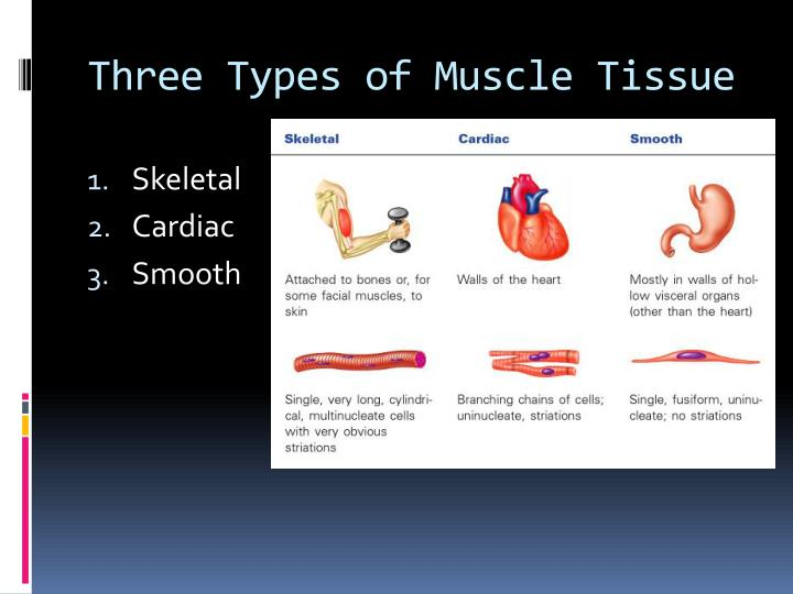 PPT - The Muscular System PowerPoint Presentation - ID:3763944