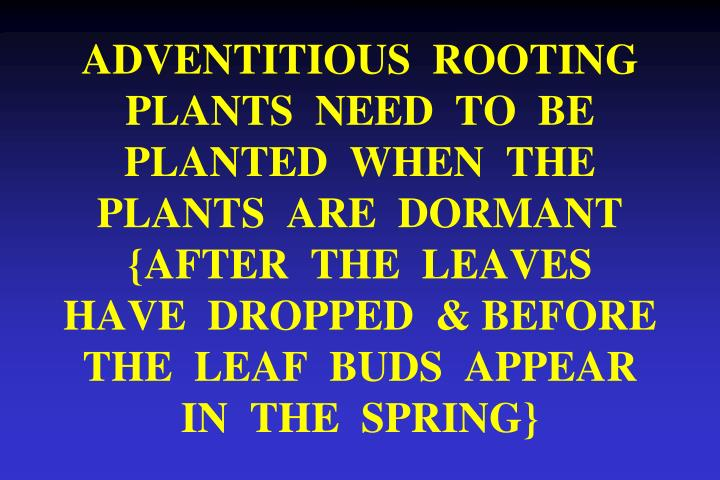 ADVENTITIOUS  ROOTING  PLANTS  NEED  TO  BE  PLANTED  WHEN  THE  PLANTS  ARE  DORMANT  {AFTER  THE  LEAVES  HAVE  DROPPED  & BEFORE  THE  LEAF  BUDS  APPEAR   IN  THE  SPRING}