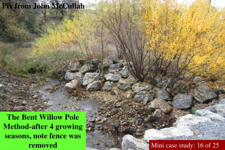 The Bent Willow Pole Method-after 4 growing seasons, note fence was removed