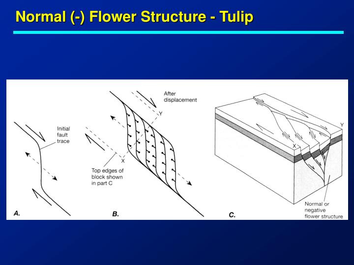 Normal (-) Flower Structure - Tulip