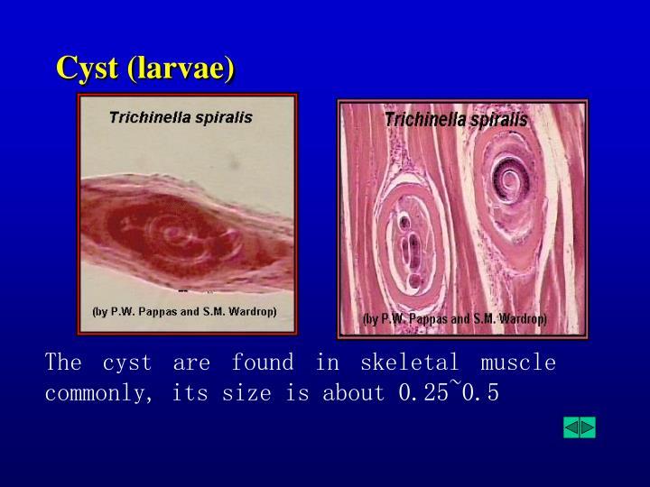 Cyst (larvae)
