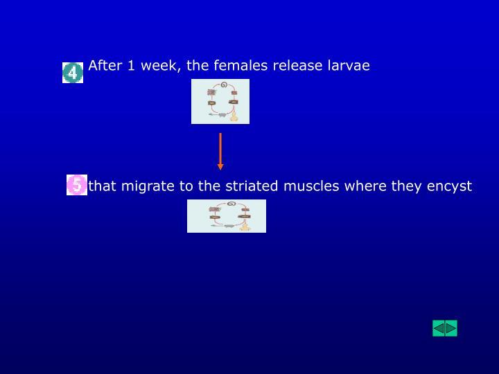 After 1 week, the females release larvae