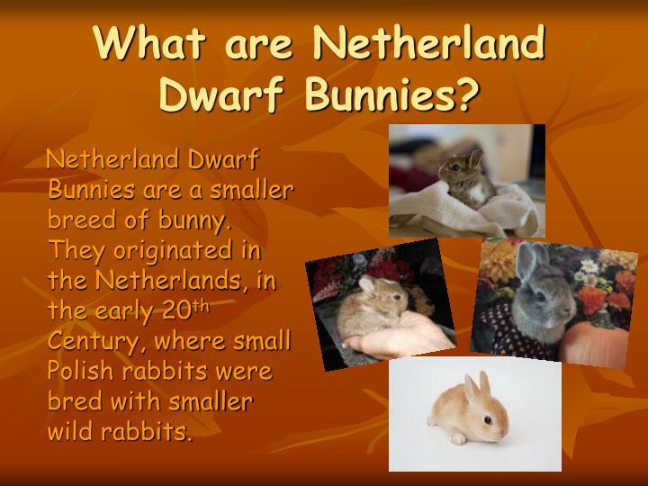 What are netherland dwarf bunnies