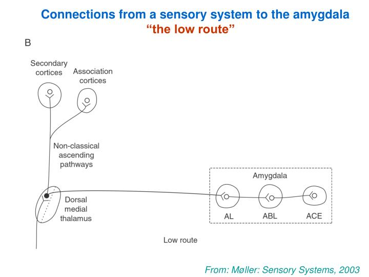 Connections from a sensory system to the amygdala