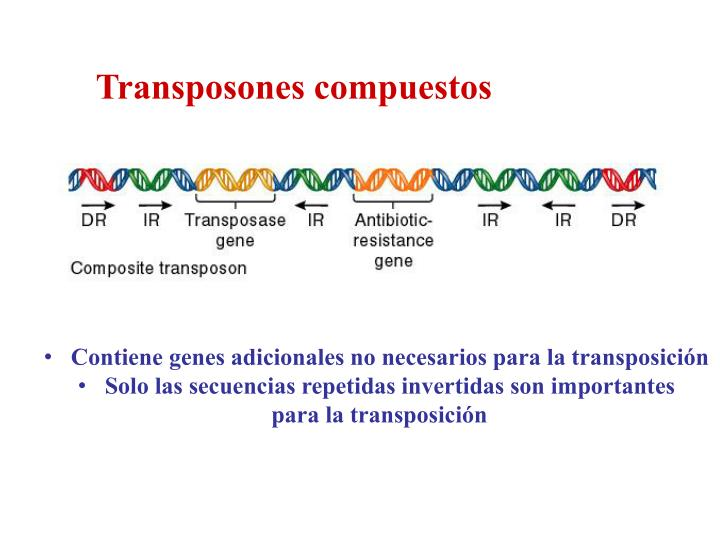 Transposones compuestos