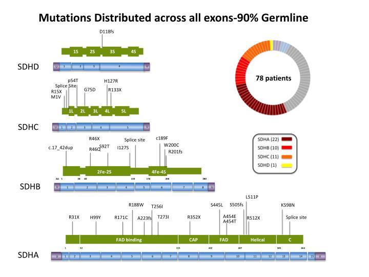 Mutations Distributed across all exons-90% Germline