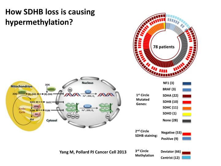 How SDHB loss is causing hypermethylation?