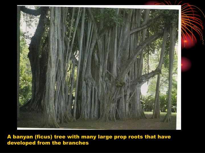 A banyan (ficus) tree with many large prop roots that have developed from the branches