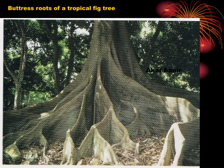 Buttress roots of a tropical fig tree