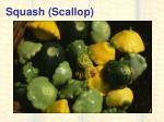 squash scallop