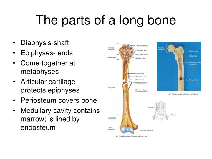 The parts of a long bone