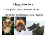 megachir ptera1