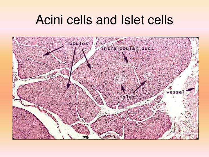 Acini cells and Islet cells