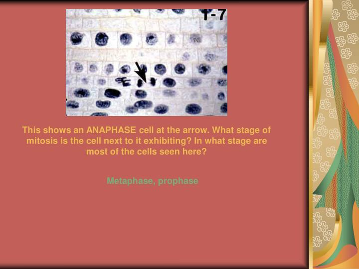 This shows an ANAPHASE cell at the arrow. What stage of mitosis is the cell next to it exhibiting? In what stage are most of the cells seen here?