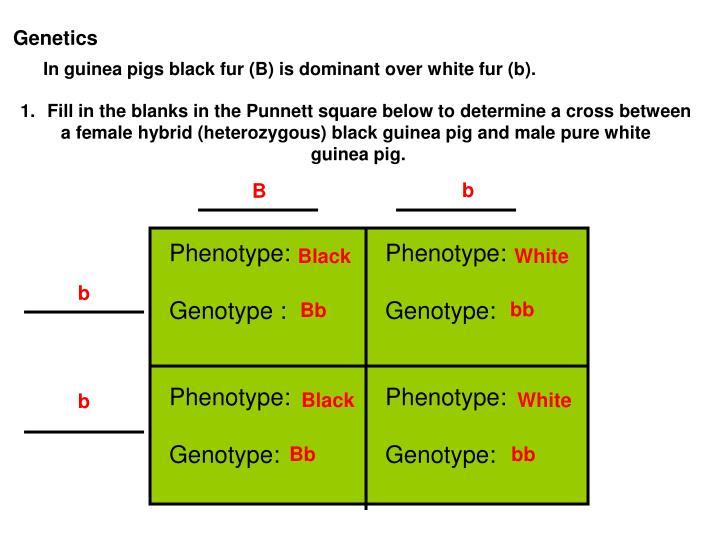 In guinea pigs black fur (B) is dominant over white fur (b).