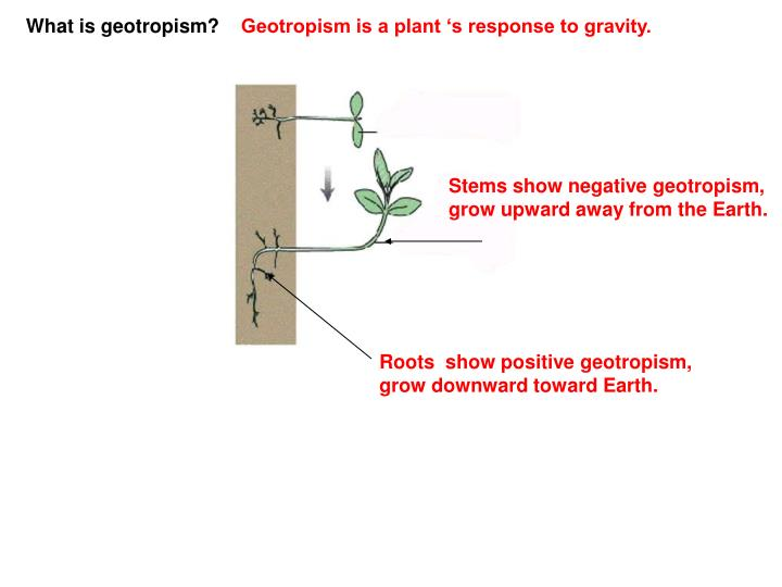 What is geotropism?